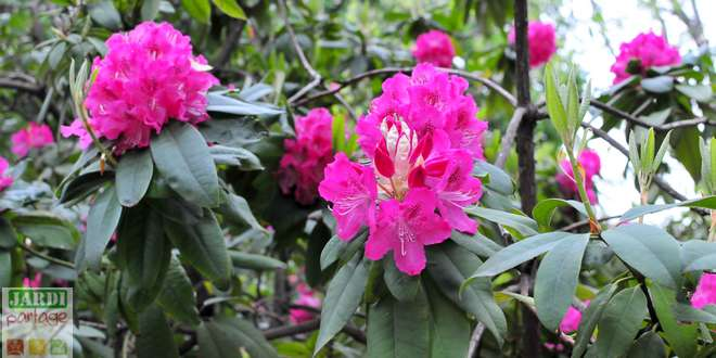 Photo of Pourquoi marcotter le rhododendron plutôt que de le bouturer ?