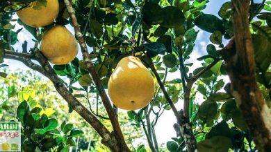 bergamote plante