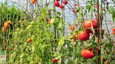 que faire des plants de tomates en fin de saison