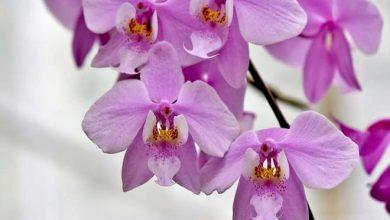 arrosage orchidee en pot