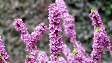 arbuste floraison hivernale