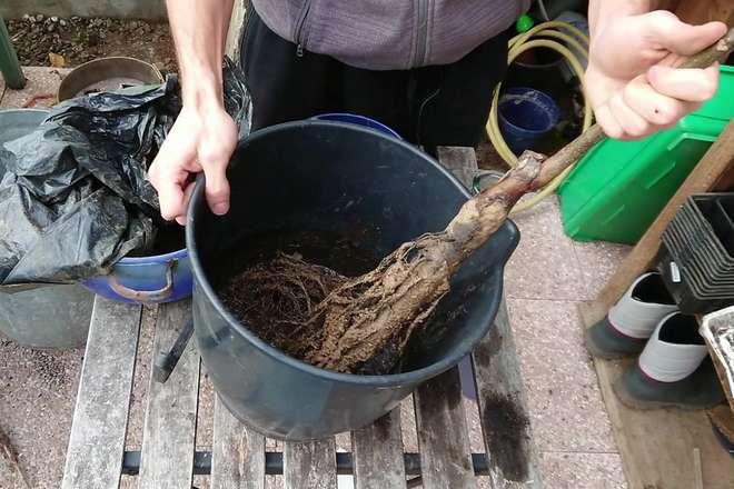 faire un pralin pour planter un arbre fruitier