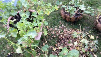 pelargonium entretien