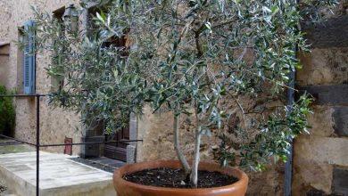 entretien olivier en pot