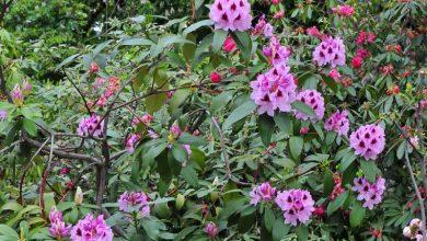 entretien rhododendron