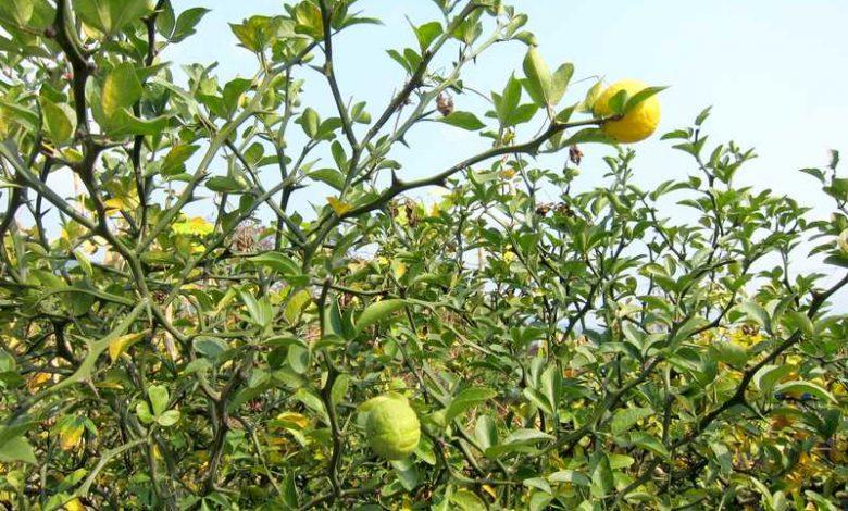 citron japonais