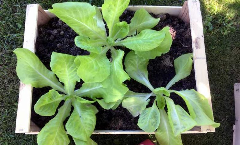 planter des salades dans une jardiniere