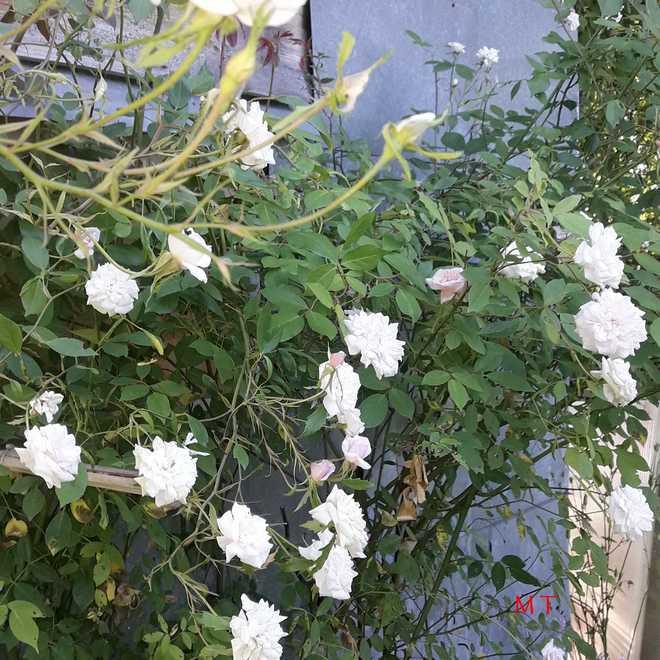 bloomfield abundance rose bush
