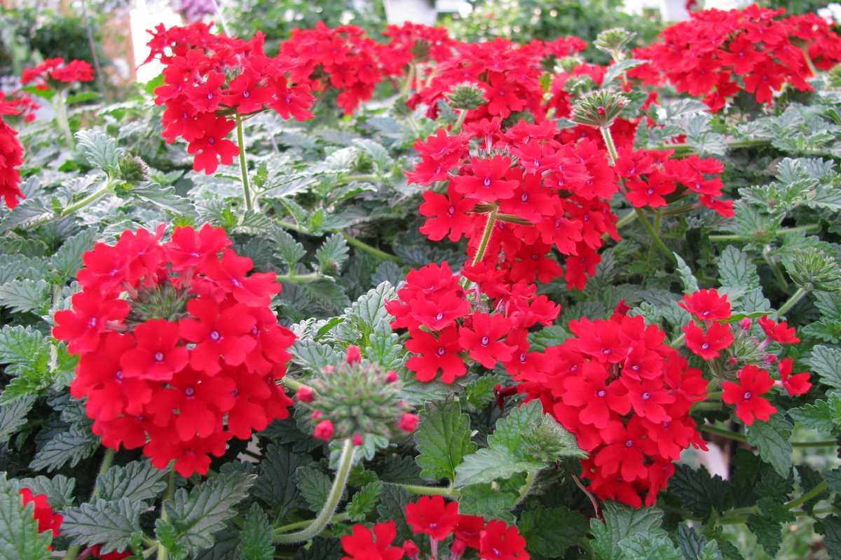 Verveine Fleur De Massif Annuelle Ou Vivace Jardipartage