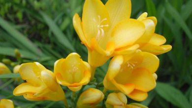 Freesia fleur
