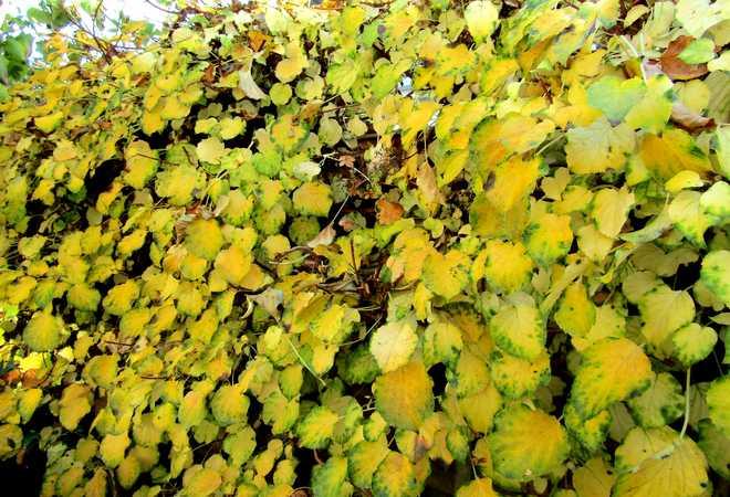 Hortensia grimpant automne