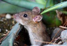 souris dans compost