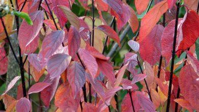arbuste feuille rouge