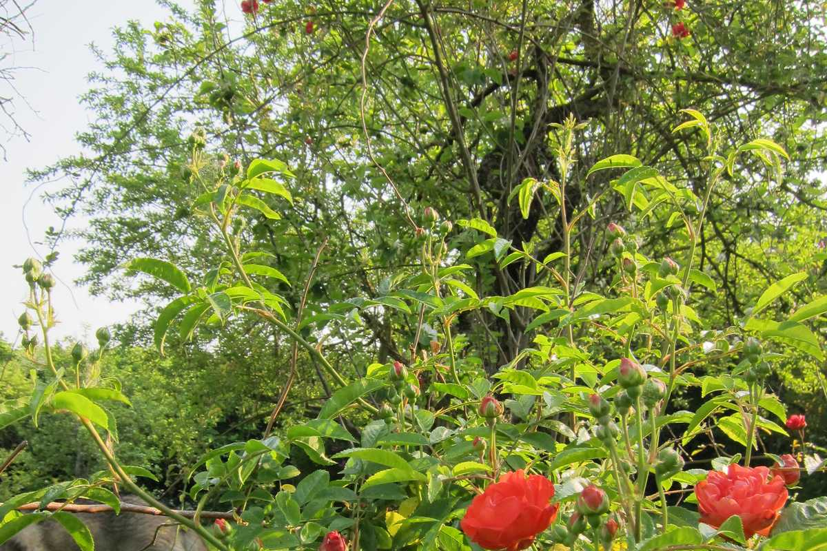 planter un rosier grimpant au pied d un arbre