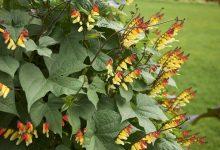 plante grimpante annuelle