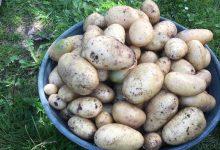 variete de pomme de terre tres precoce