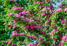 arbre aubépine