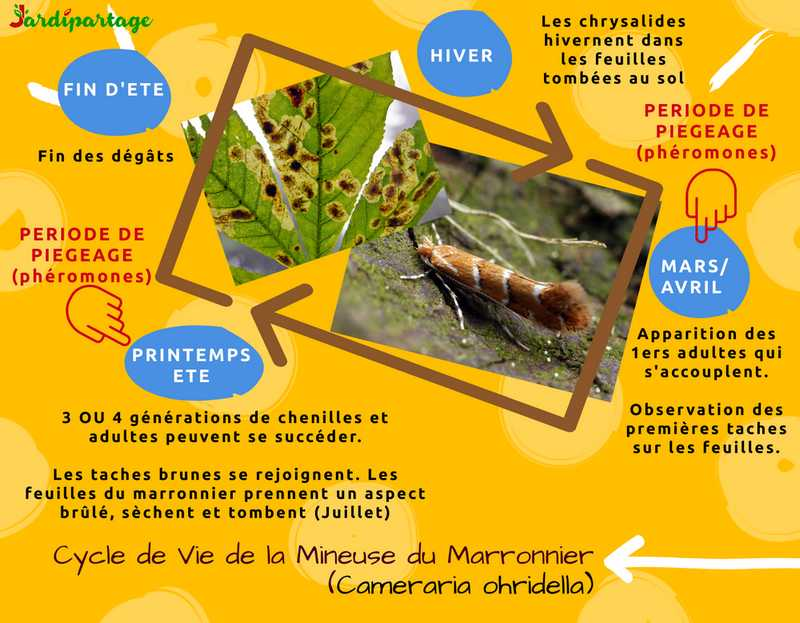 mineuse du marronnier traitement