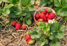 variétés de fraisiers