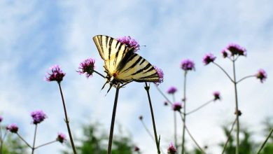 fleur à papillon