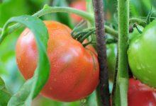 légumes faciles à cultiver