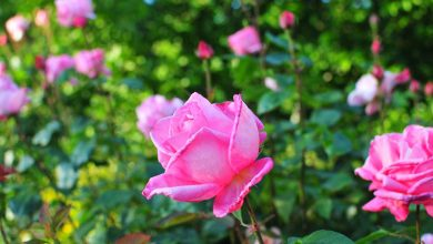 entretien des rosiers au printemps