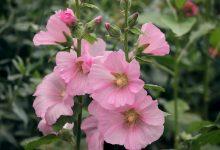 roses trémières en fleurs