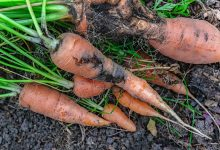 dégâts de la mouche de la carotte